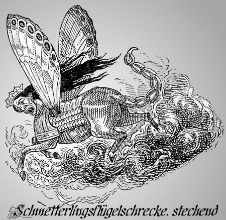 Schmetterlingsflügelschrecke, stechend