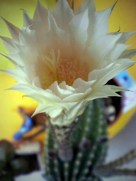 Ein völlig enthemmter Kaktus präsentiert öffentlich seine Genitalien