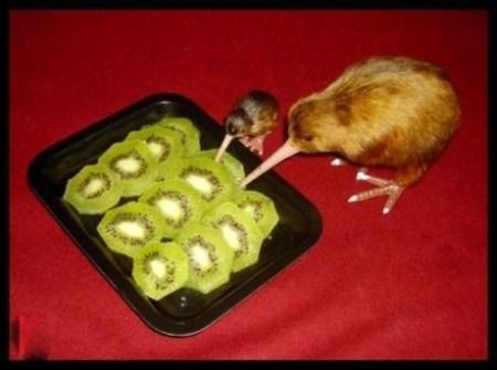 Kiwi, kiwi, kiwi, kiwi, kiwi, kiwi, kiwi, ölfmahl kiwi
