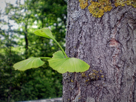 Kleines Triebchen eines Ginkgo, dass seine grünen Blätter aus dem Stamm herausstreckt