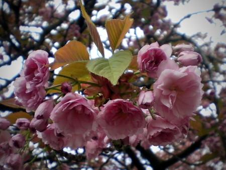 Im Frühling blühender Baum mit noch jung aussehendem Laub
