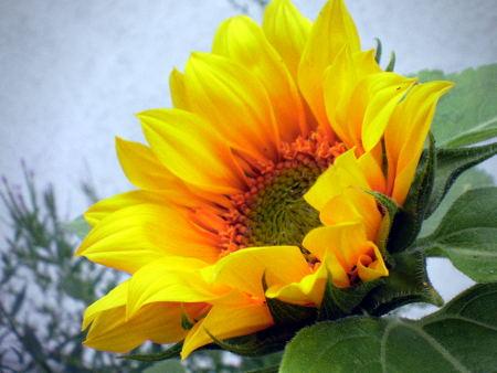 Foto einer gerade geöffeneten Sonnenblume