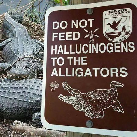 Warnschild mit der Zeichnung eines Krokodiles, das nach einem Pilz schnappt: 'Do not feed hallucinogenes to the alligators'...