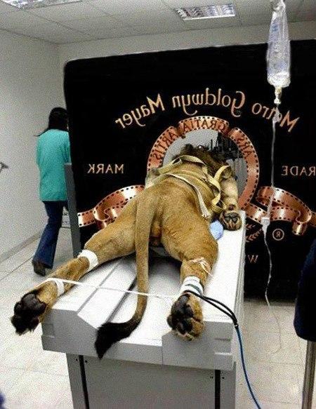 Ein Löwe ist auf einer Liege gefesselt und schreit durch das Loch im Logo von Metro Goldwyn Mayer