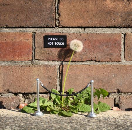 Ein Löwenzahn am Rande einer Mauer, die Samen zum Weggeblasenwerden bereit. Davor eine kleine Spielzeug-Absperrung und ein Schildchen: 'Please do not touch'.