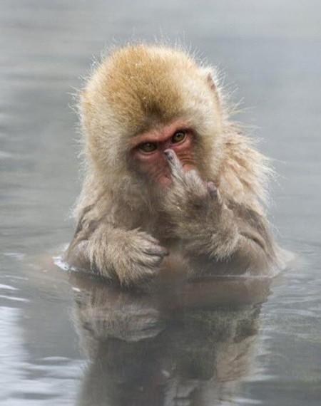 Affe, der im Wasser steht und seinen Mittelfinger in die Kamera hält