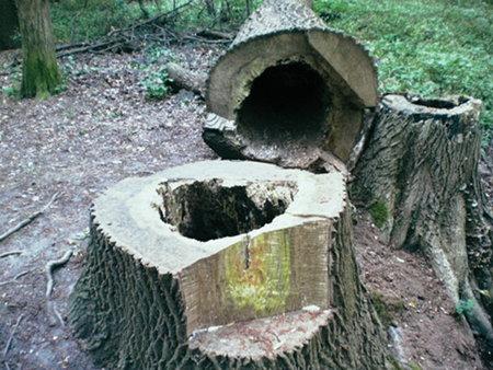 Foto eines gefällten Baumes, der innen hohl und verfault war