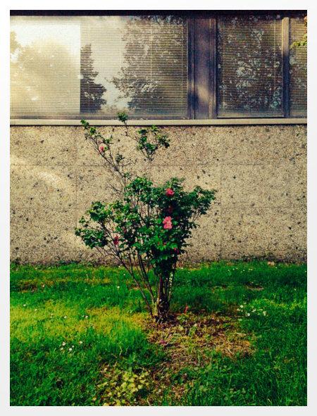 Stark bearbeitetes Foto einer ungepflegten Wildrose vor der Betonfassade des Heizkraftwerkes Linden