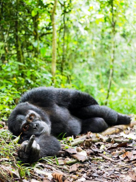 Ein Gorilla liegt auf dem Boden und zeigt den Mittelfinger