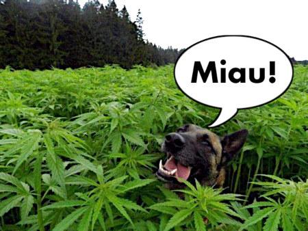Hund in einem riesengroßen Feld mit Hanfpflanzen, mit Sprechblase »Miau!«.