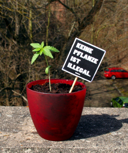Blumentopf mit einer noch sehr jungen Hanfpflanze, die nach den Keimblättern die ersten charakteristisch aussehenden Blätter gebildet hat. Im Topf ist ein Pappschild gesteckt: Keine Pflanze ist illegal. Barbara.