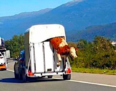 Auto mit Tiertransport-Anhänger, aus dem während der Fahrt eine Kuh flieht